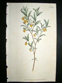 Curtis 1795 Hand Col Botanical Print. Lavender Leaved Hermannia 304